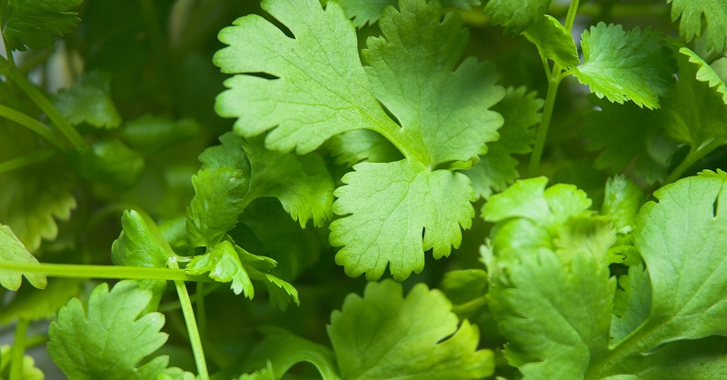 Coriander to keep your liver healthy