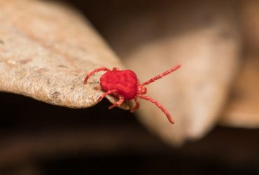 Tiny red bugs at home